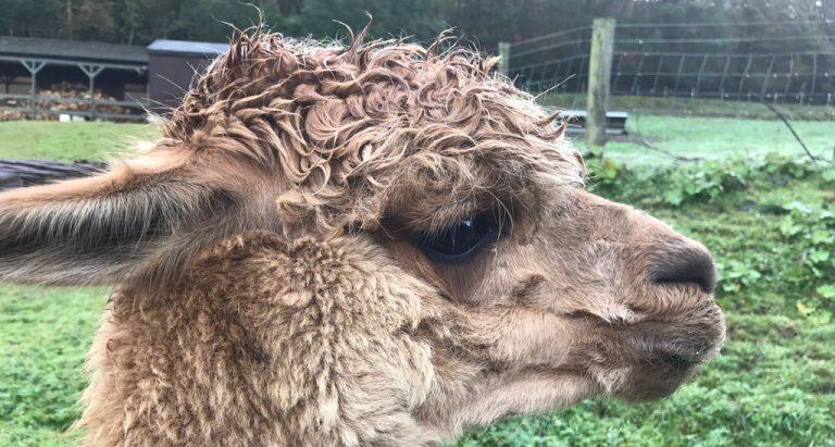 podcast6 could I keep alpacas