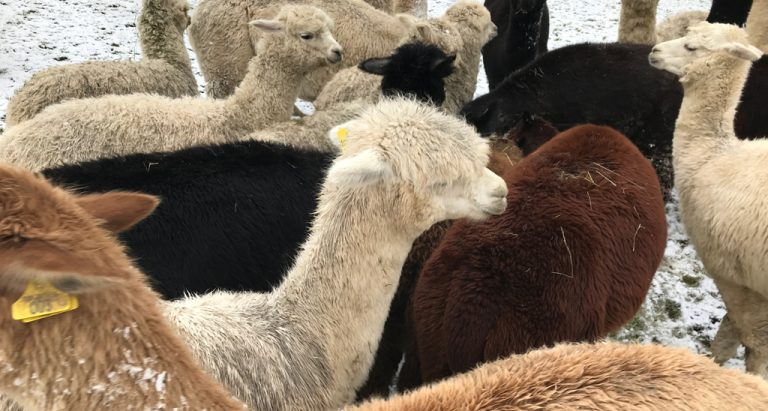 topical alpaca tips