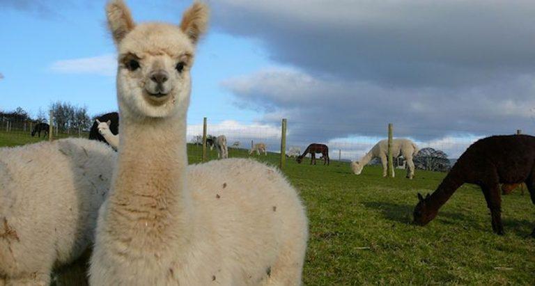 greenside alpacas