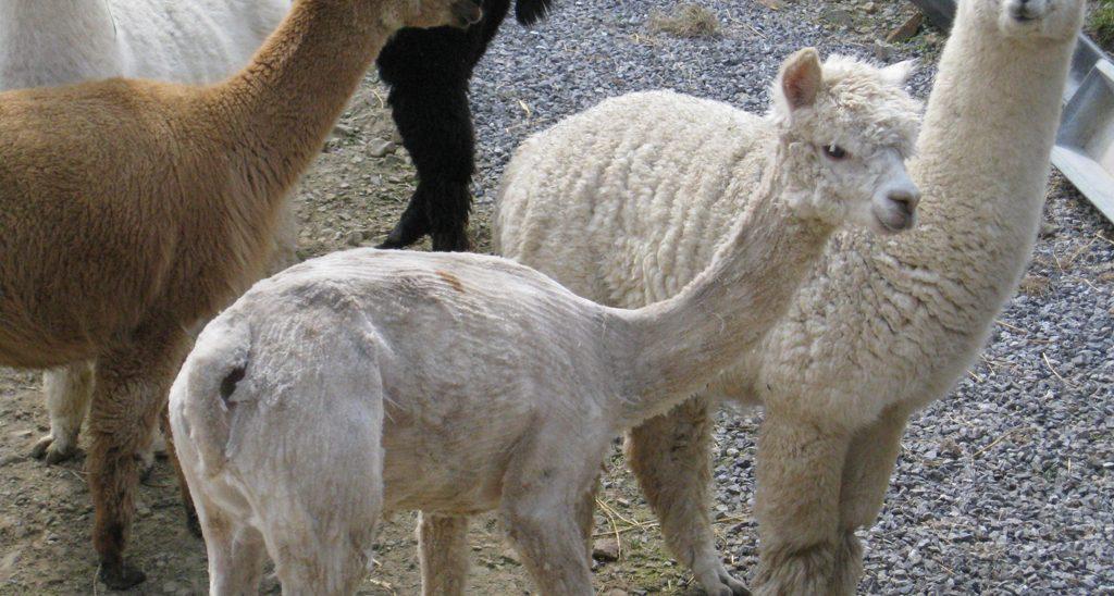 alpaca shearing on the horizon