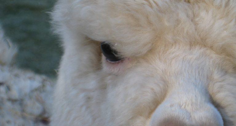 seeing alpacas through your eyes
