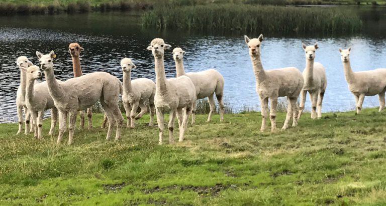 expected alpaca behaviour