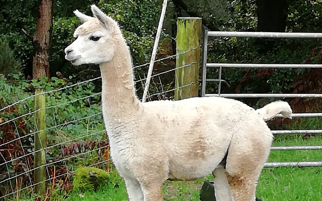 basic alpaca appraisal