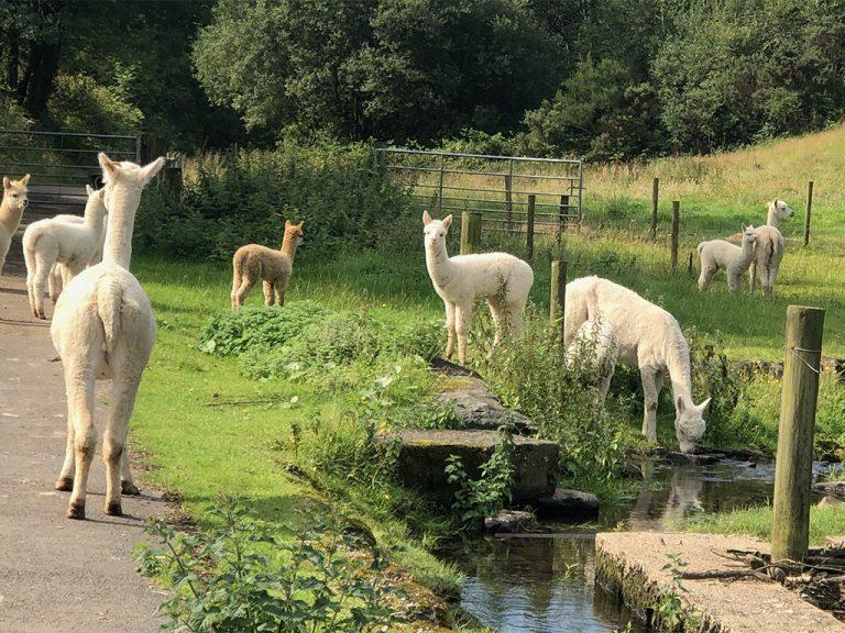 at 85 alpacas in stream