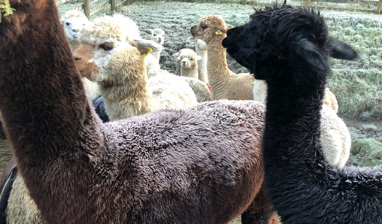 frosted fleece