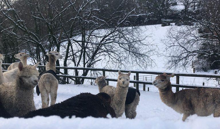 episode 109 alpacas in the snow