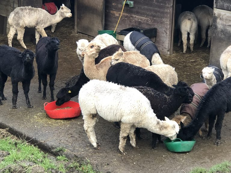 alpacas feeding in the corral