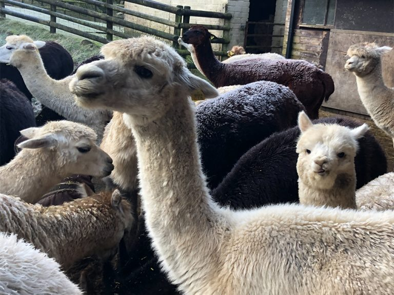 are your alpacas on mute