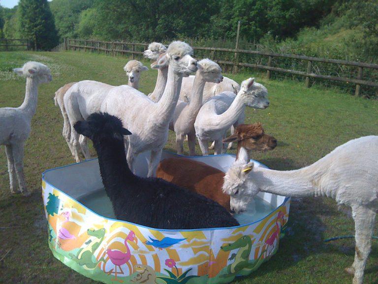 alpacas in the paddling pool