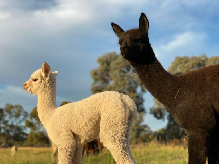 cria at Campo Verde Alpacas