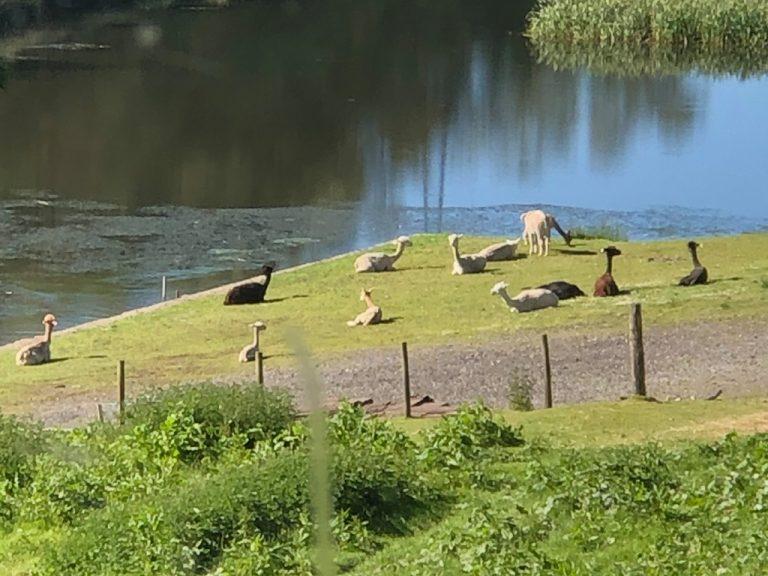 alpacas by the lake