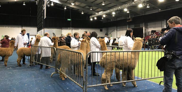 BAS national alpaca show